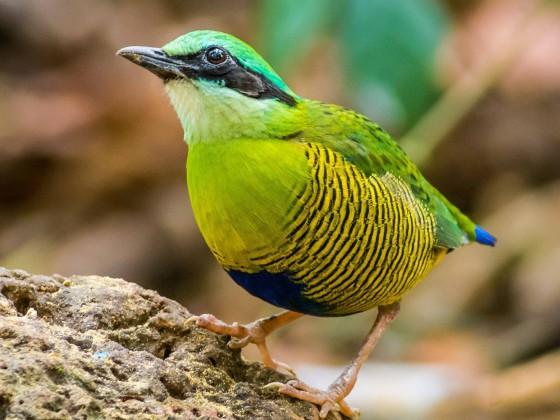Vietnam – Birdingtour zwischen Halong Bay und Hoi An