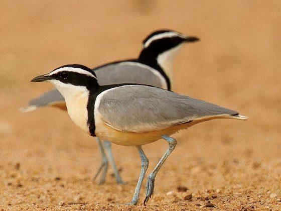Gambia: Vogelwelt entlang des Gambia-River
