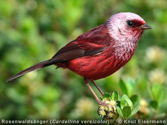 Guatemala: Endemische Vögel des nördlichen Mittelamerikas