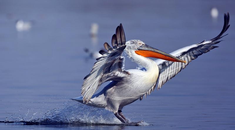 Am See der seltenen Vögel zu Besuch bei den Krauskopfpelikanen