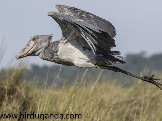 Uganda: Endemische Vögel im Albertine Rift Valley