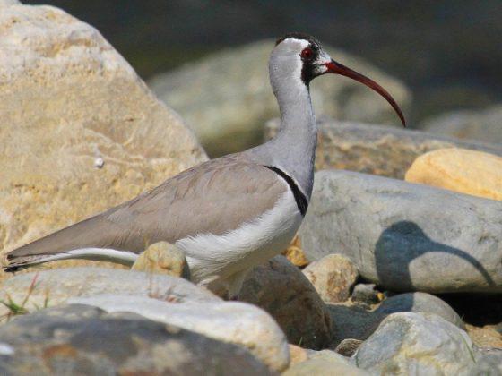 Nepal: Vogelwelt unter dem Dach der Welt