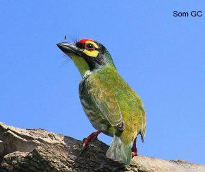 Nepal_Som_Kupferschmid-Bartvogel