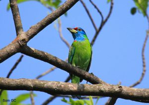 blue-throated-barbet-peter-001