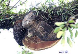 oriental-honey-buzzard-petern-clyde-15-001-kopie