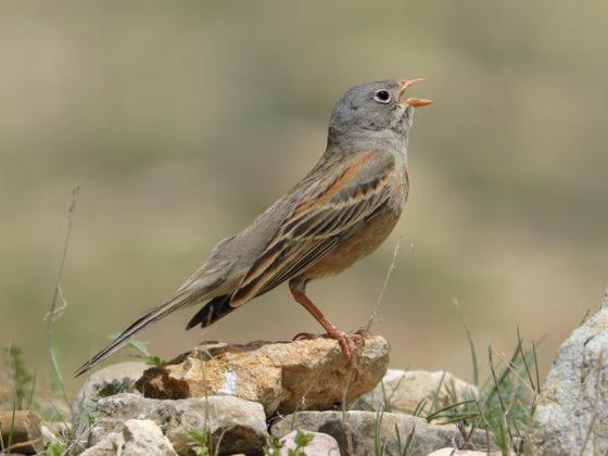 "Georgien/Armenien: Vogelwelt am ""Tor zum Orient"""