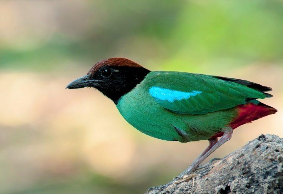 Thailand: Endemische Vogelarten im Süden
