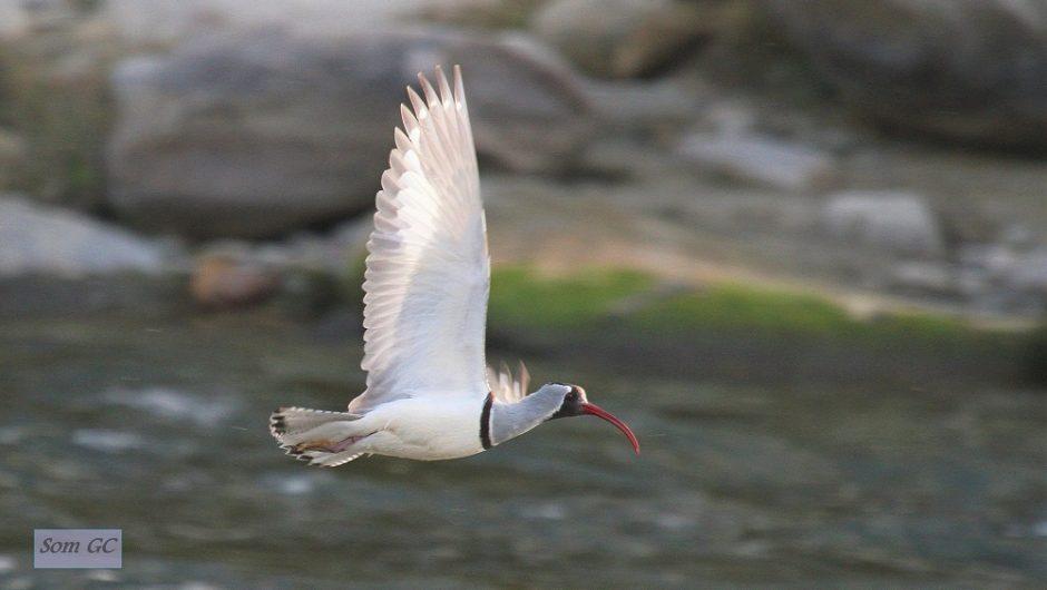 Vogelwelt im Himalaja – Bartmeise-Reisegruppe bei Ibisschnabel und Himalajarotschwanz eingetroffen