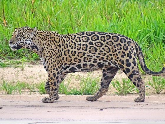 """Brasilien: Pantanal und in den """"Gärten des Amazonas"""""""
