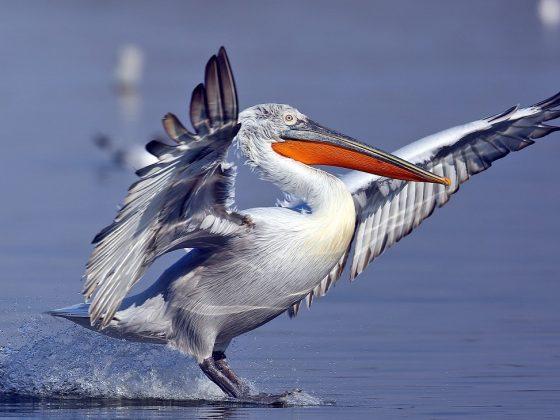 Griechenland/Nordmazedonien: Adler, Geier und Pelikane
