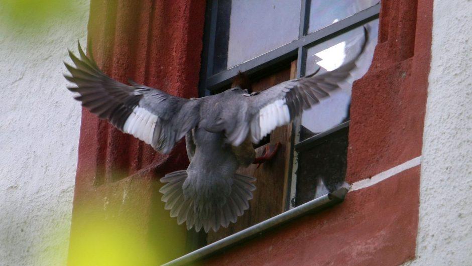 Neues aus der Vogelwelt: Gänsesäger-Brut im Erzgebirgischen Becken dokumentiert
