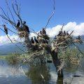 """""""Wilder Balkan"""": Bartmeise-Reisegruppe von Brutvogelwelt am und um den Kerkinisee begeistert"""