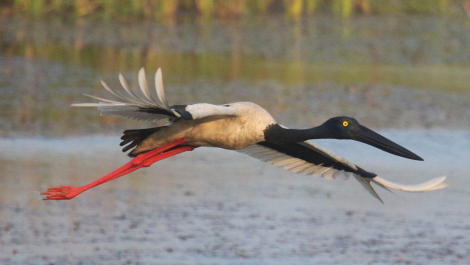 Überraschende Entdeckung in Nepal: Seltener Riesenstorch (Black-necked Stork) mit flüggen Jungvögeln gefunden