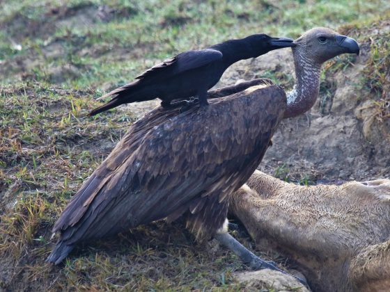 Nepal: Spektakulärer Greifvogelzug im Himalaya