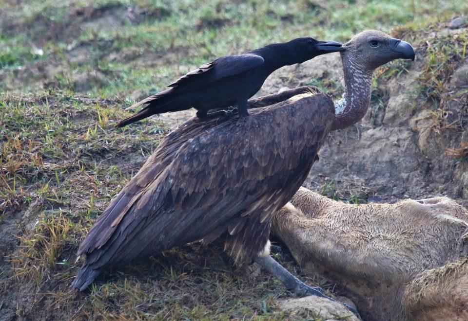 Nepal: Spektakulärer Greifvogelzug im Himalaja