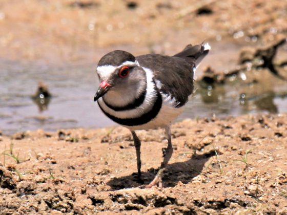 Ägypten: Ornithologisches Abenteuer Nasserstausee
