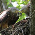 """Jungvogel-Zeit beim """"Europäischen Naturwunder"""" Rotmilan – Afrikanische Naturwunder im September zu erleben"""