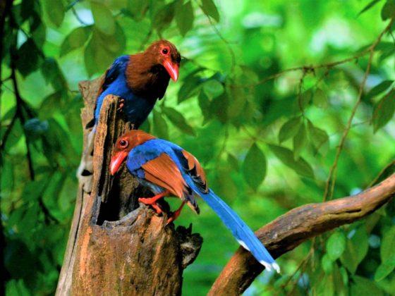 Schatzinseln der Evolution II: Sri Lanka's Vogelwelt