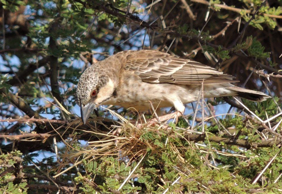 Kenia: Vogelwelt des Nordens und des Aberdare-Gebirges
