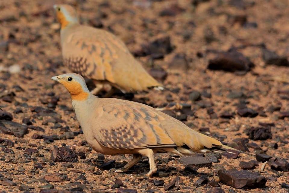 Marokko: Vogelwelt zwischen Atlas und Sahara