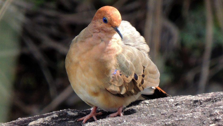 Reise zum brasilianischen Blauaugentäubchen, einer der seltensten Vogelarten der Welt