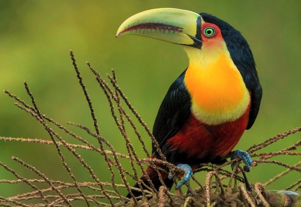 Brasilien: Endemische Vögel in der Mata Atlântica