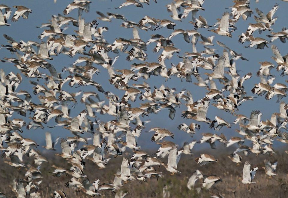Aserbaidschan: Vogelzug und Zwergtrappen im Winter