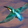"""Jungvogelzeit beim """"fliegenden Edelstein"""" – afrikanische Eisvögel im September im Programm"""