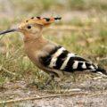 Der Wiedehopf als neuer Brutvogel im Zschopautal bzw. im Ergebirgsvorland – eine Folge des Klimanwandels?