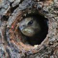Ungewöhnliches mehr aus unserer Vogelwelt: Was macht der Mauersegler als Brutvogel in einem Knorpelkirschaum?