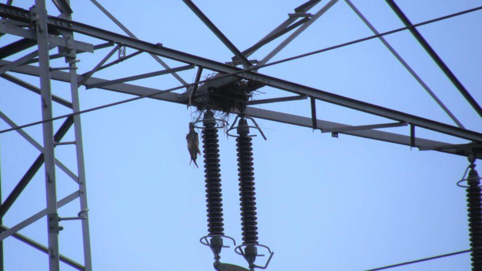 Durch Bindegarn gefährdete Baumfalken-Jungvögel bei Bruten in Krähennestern auf Eisengittermasten
