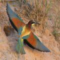 """Klimaveränderungen bringen neue Vogelarten auch ins Erzgebirgsvorland: """"Start frei"""" für die Bienenfresser"""