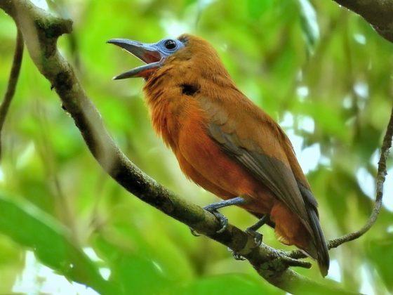 Brasilien: Vogelwelt im Amazonas-Regenwald Manaus