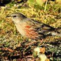 Alpenbraunelle aktuell am Fichtelberg zu sehen – Art neuer Brutvogel im Erzgebirge