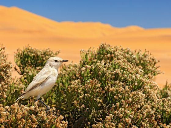 Namibia: Bird-Safari zwischen Wüste und Atlantik