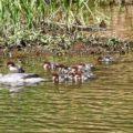 3. Gänsesäger-Brut in der Rochsburg – erstmals Weg/Zeit der Jungvögel per Video und im Foto dokumentiert
