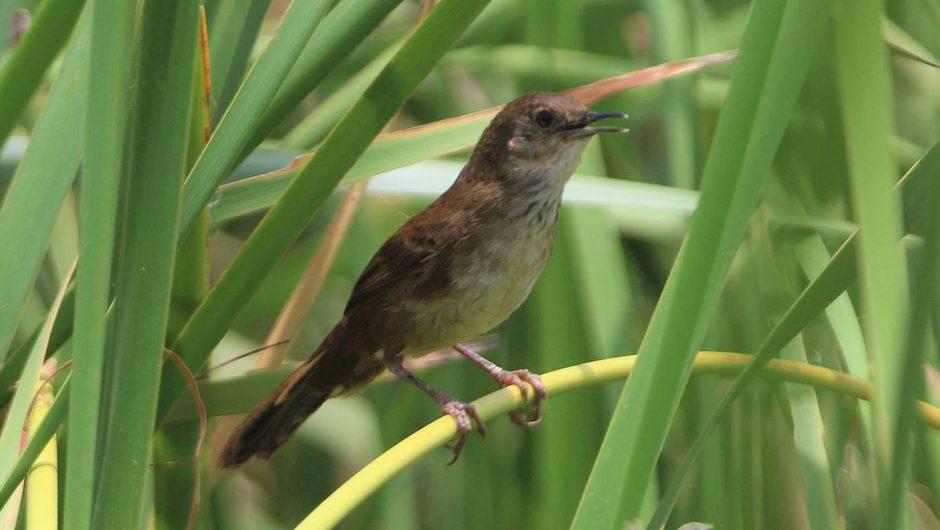 Neue Brutvogelart für Gambia: Sächsischer Vogelforscher entdeckt Little Rush-warbler am Gambia-River